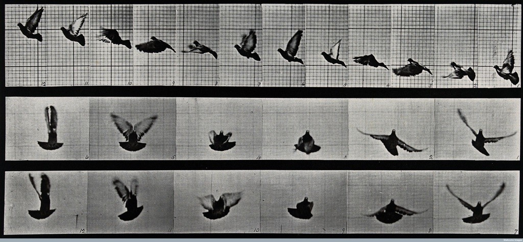 Eadweard-Muybridge-A-cockatoo-flying-1887-185-x-405-cm-Wellcome-Library-di-Londra